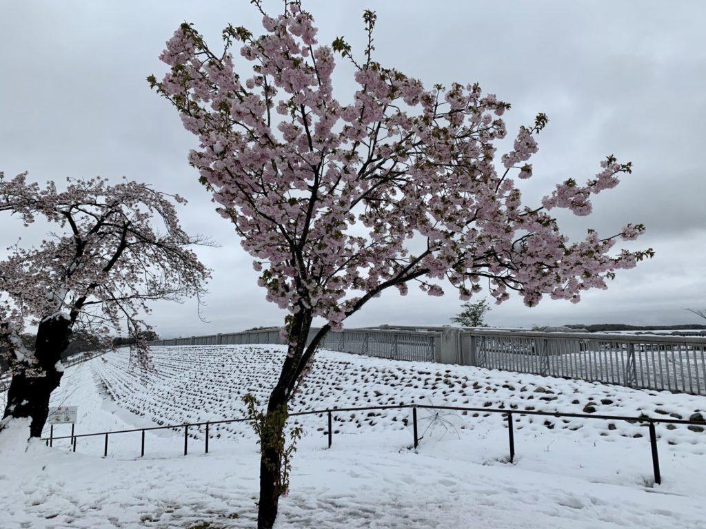 雪と桜の多摩湖自転車道