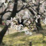 ランニングで見つけた大濠公園の桜