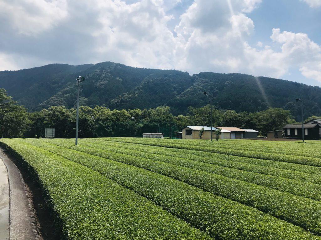 静岡ランニング中に見た茶畑
