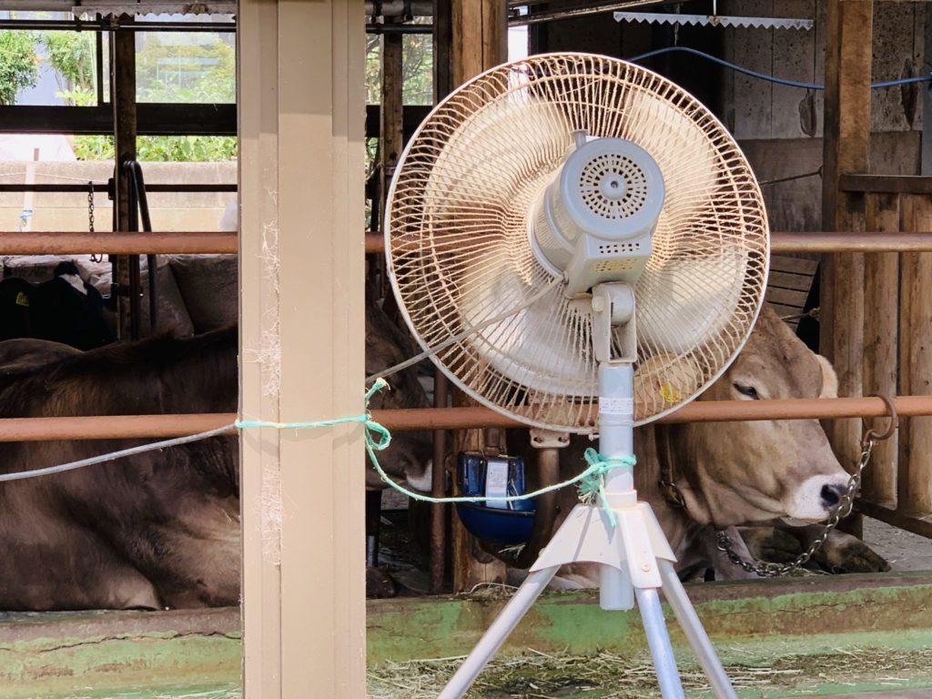 暑さにへたる飯田牧場の牛
