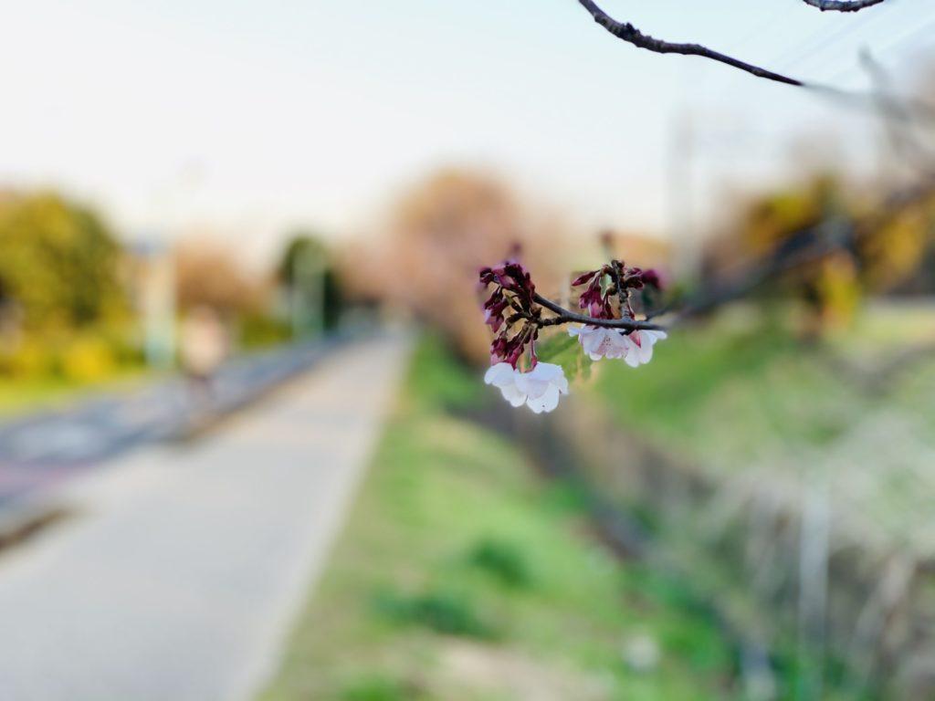 多摩湖自転車道脇に見つけた桜の蕾