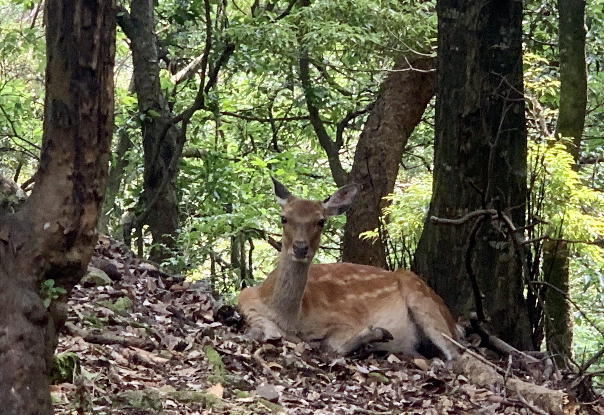 大山登山で鹿と出くわす