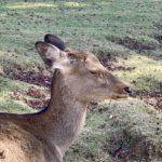 東大寺内で瞑想する鹿
