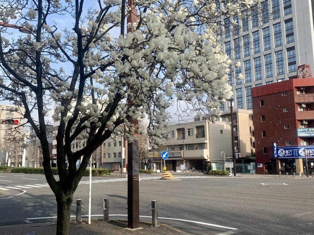 名古屋ウィメンズマラソンコースを早朝ランして眺めたハナミズキ