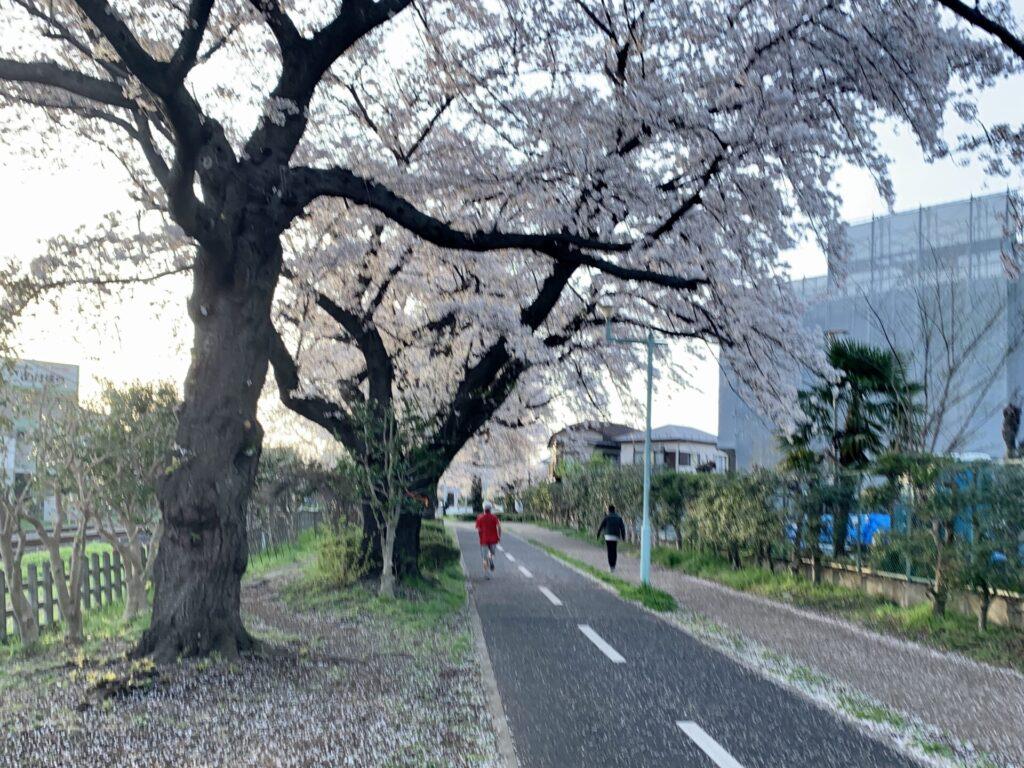 多摩湖自転車道ランニングで桜を愛で春を感じる